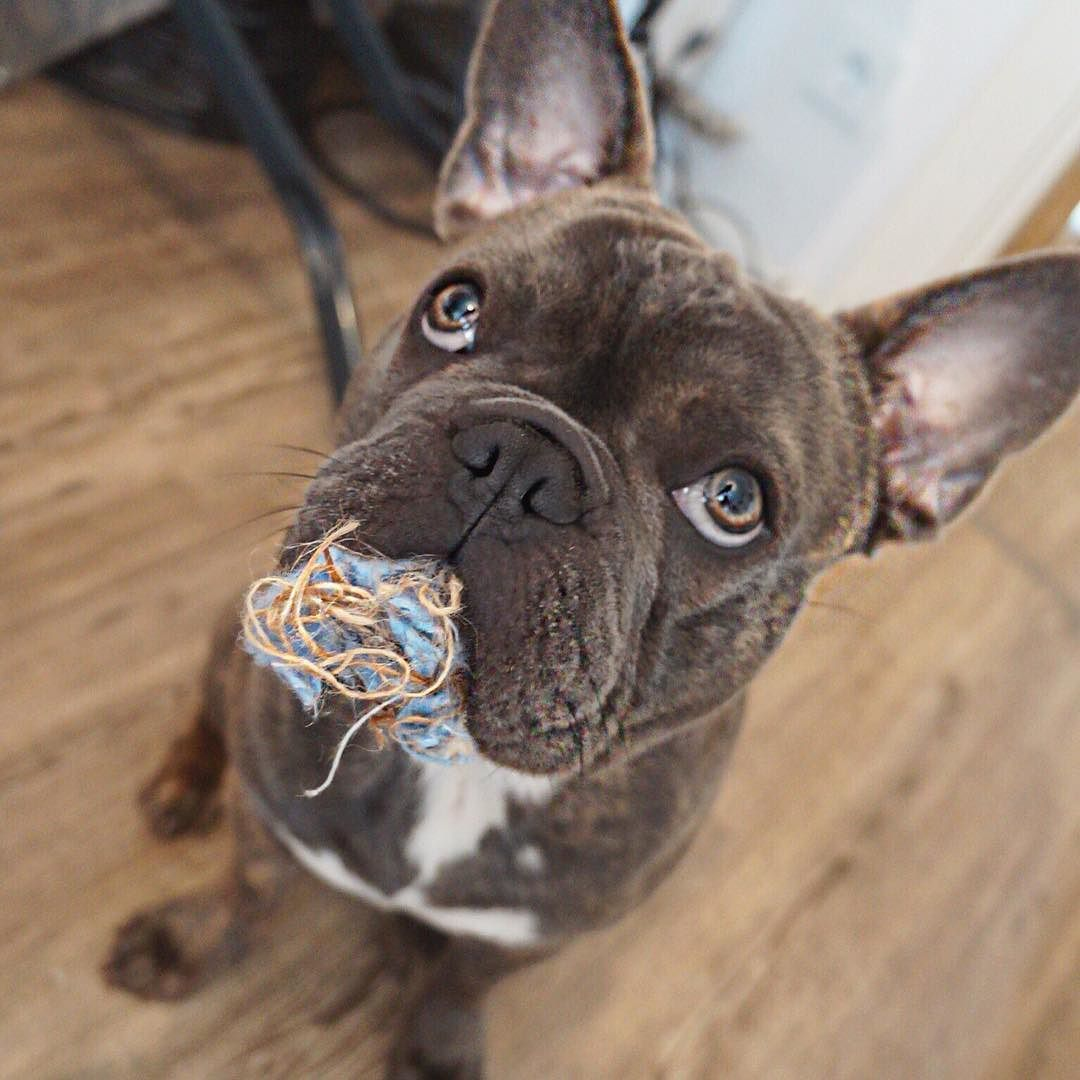 My toy destroyed? Don't know what you mean #französischebulldogge #frenchielove…