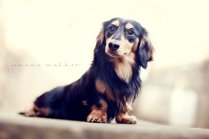 Black And Cream Longhaired Dachshund Looks Just Like My Maddie