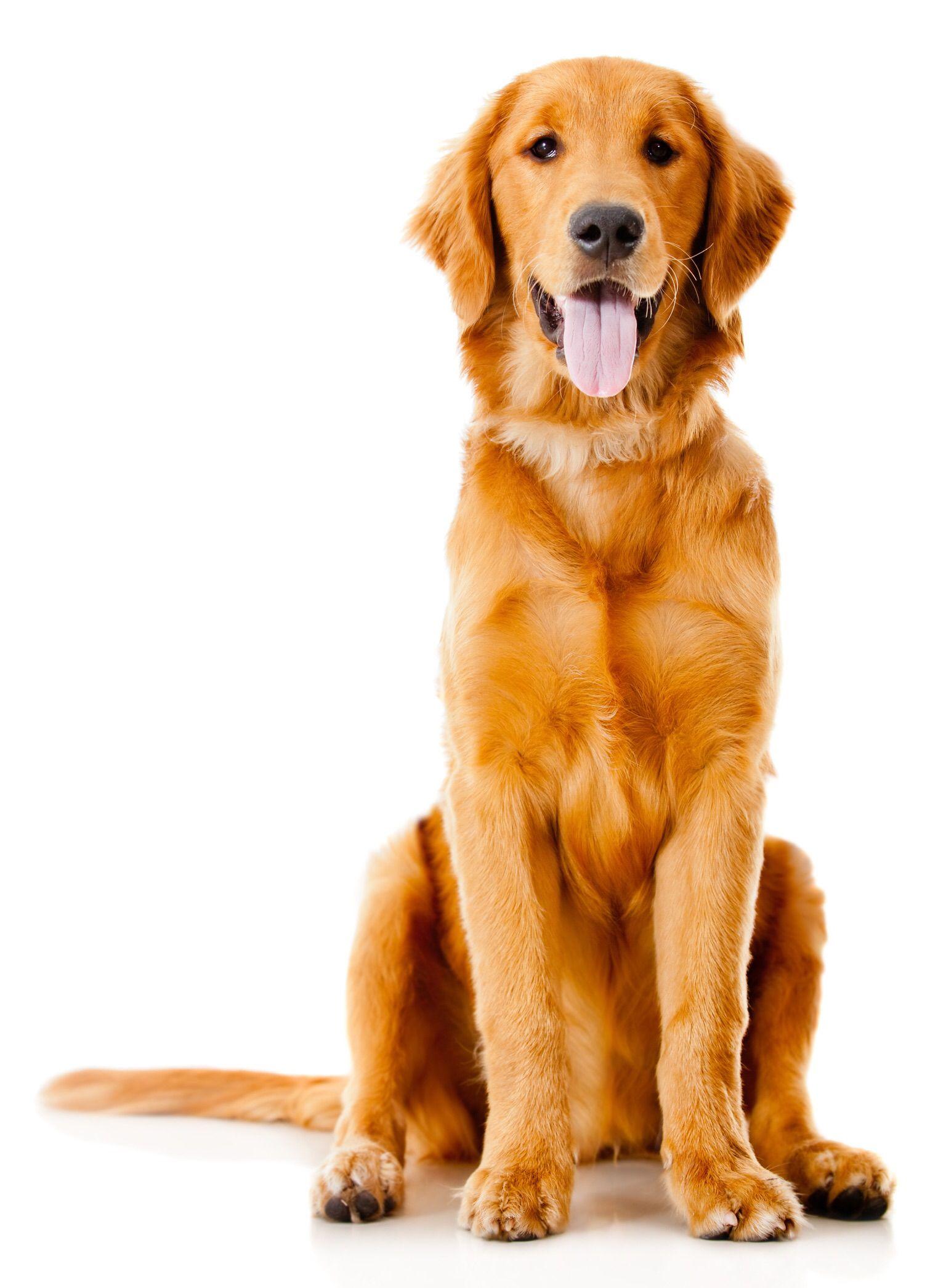 Www Rafflesrelo Com Golden Retriever Dog Bandanna Loyal Dog Breeds