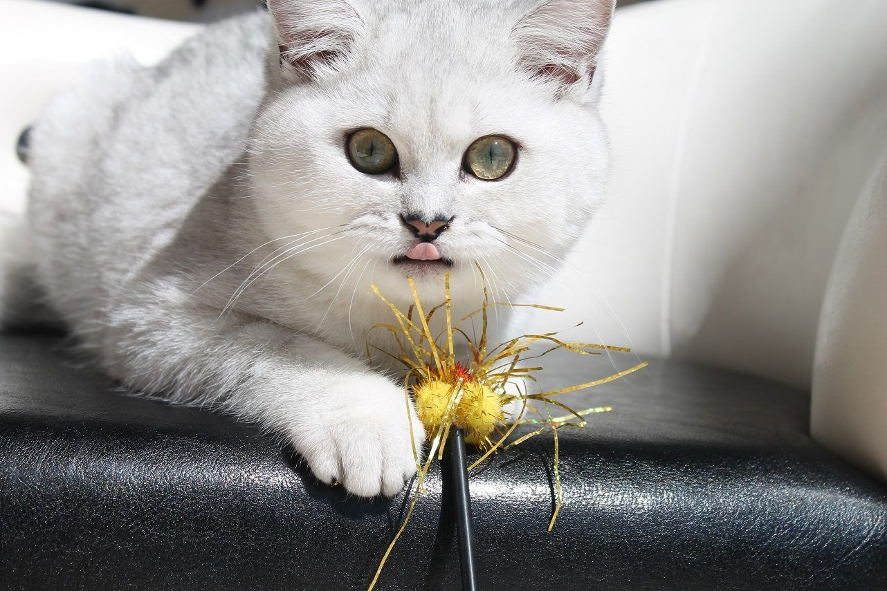 Troy Allen Feliland British Shorthair Black Silver Shaded Bri Ns 11 Www Felilandcattery Com British Shorthair Cat Love Cats