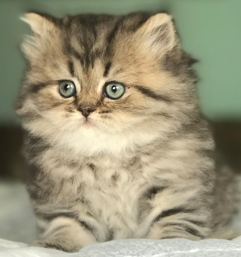 Scottish Fold And British Kittens For Sale! Long And Short