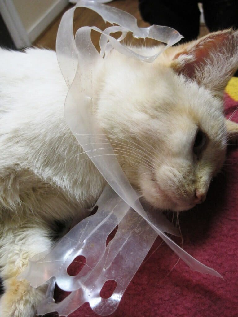 GutWrenching Photos Of Injured Kitten Show How Littering Hurts - These six pack rings feed sea creatures rather than harm them