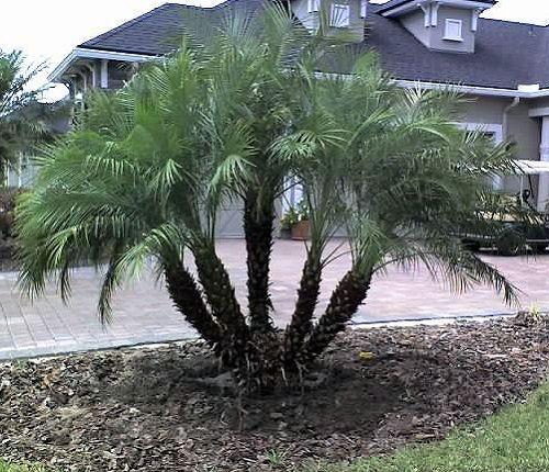 Pygmy Date Palm 20 Seeds Phoenix Roebelenii Plants Palm Trees Landscaping Palm Tree Types