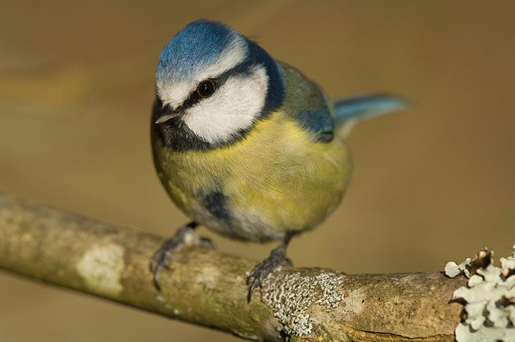 Wales wildlife: Blue tit at Westfield Pill, Pembrokeshire, Wales