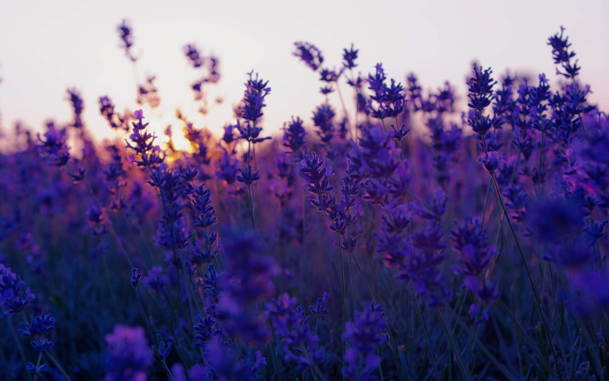 Bed Of Purple Petaled Flower Nature Flowers Landscape Lavender Purple Flowers 2 In 2020 Flower Background Wallpaper Purple Flowers Wallpaper Aesthetic Backgrounds