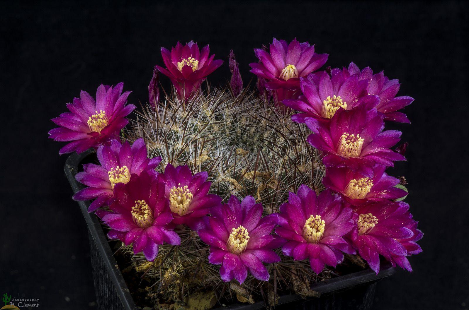 Sulcorebutia taraquensis vcolorispina vs cacti