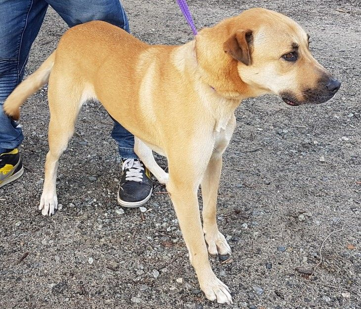 Izzi 6 2 Year Old Female Rhodesian Ridgeback X German Shepherd Adopted 19 11 2016 Dogs Rhodesian Ridgeback Animals