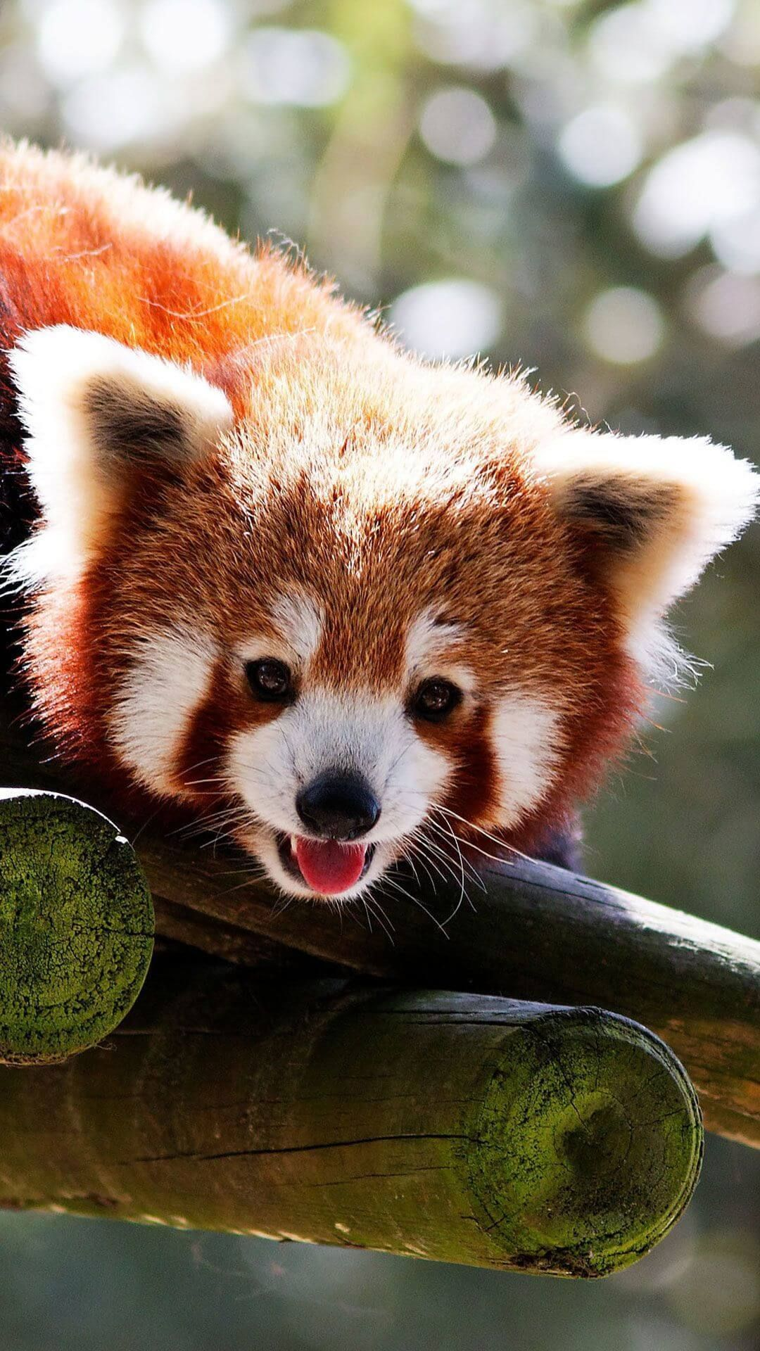 Cute Baby Red Pandas Wallpaper Iphone Hd Animal Wallpaper For Panda Wallpapers Panda Background Cute Panda Wallpaper