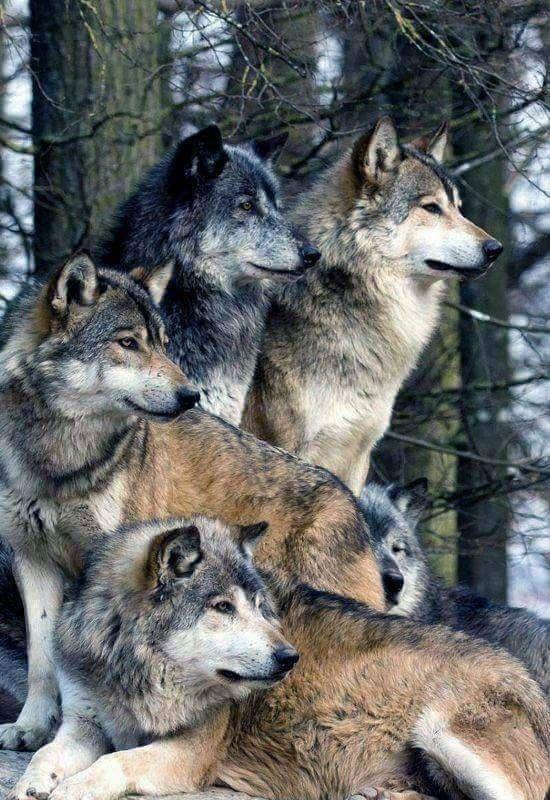 Stop Killing The Wolves Lobo Lobo Animais E Animais Selvagens