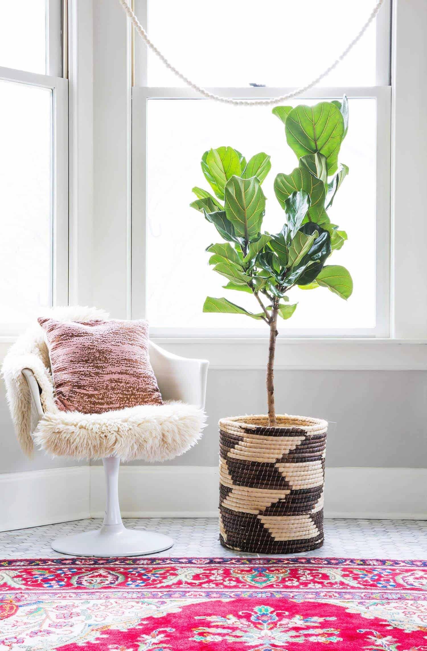 25+ Outdoor DIYs + Tips for Plant Ladies Fiddle leaf fig