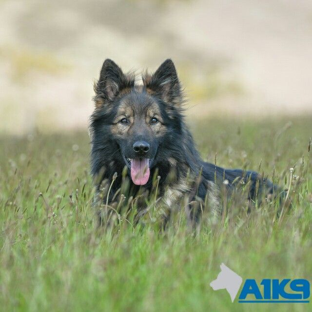 A1k9 Albert Trained Germanshepherd Familyprotectiondog Gsd