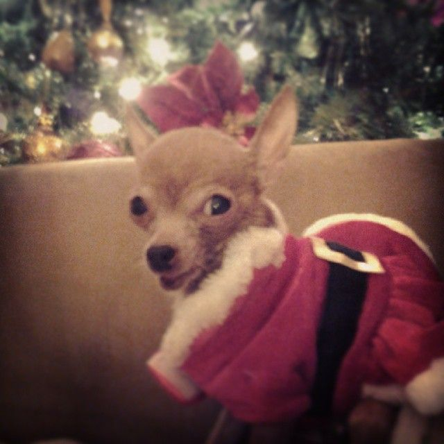 1st Prize Peewee Loves Wearing Santa S Suit Holiday Pet Photos Pet Holiday Pet Photo Contest