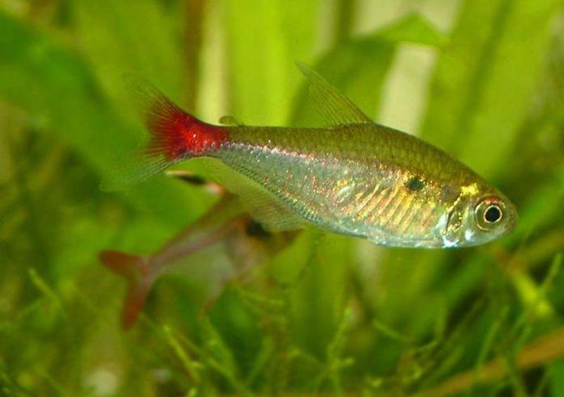 Blutschwanzsalmler Aquarium Fish Tropical Fish Neon Tetra