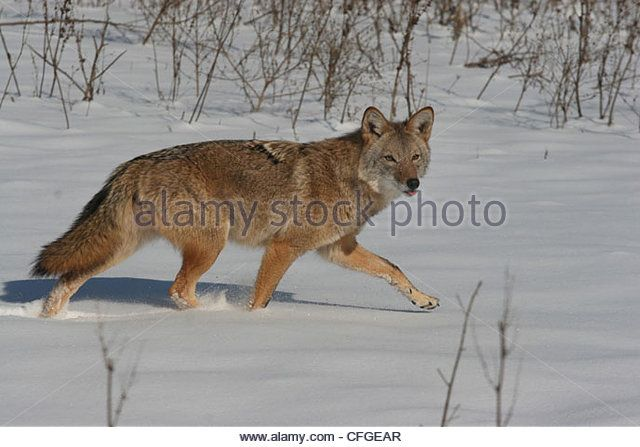 Coyote Hunting In Snowy Field Ohio Stock Image Coyote Hunting Whitetail Deer Stock Images