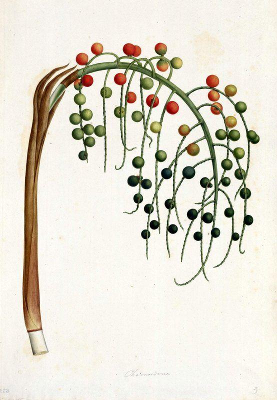 Chamaedorea. Proyecto de digitalización de los dibujos de la Real Expedición Botánica del Nuevo Reino de Granada (1783-1816), dirigida por José Celestino Mutis: www.rjb.csic.es/icones/mutis. Real Jardín Botánico-CSIC.