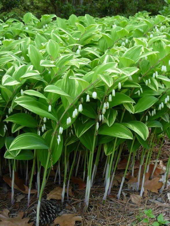 Gardening on Share Sunday #shadeplantsperennial