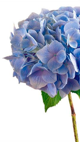 Hydrangea Meaning Symbolism History Proflowers In 2020 Flower Meanings Hydrangea Hydrangea Purple