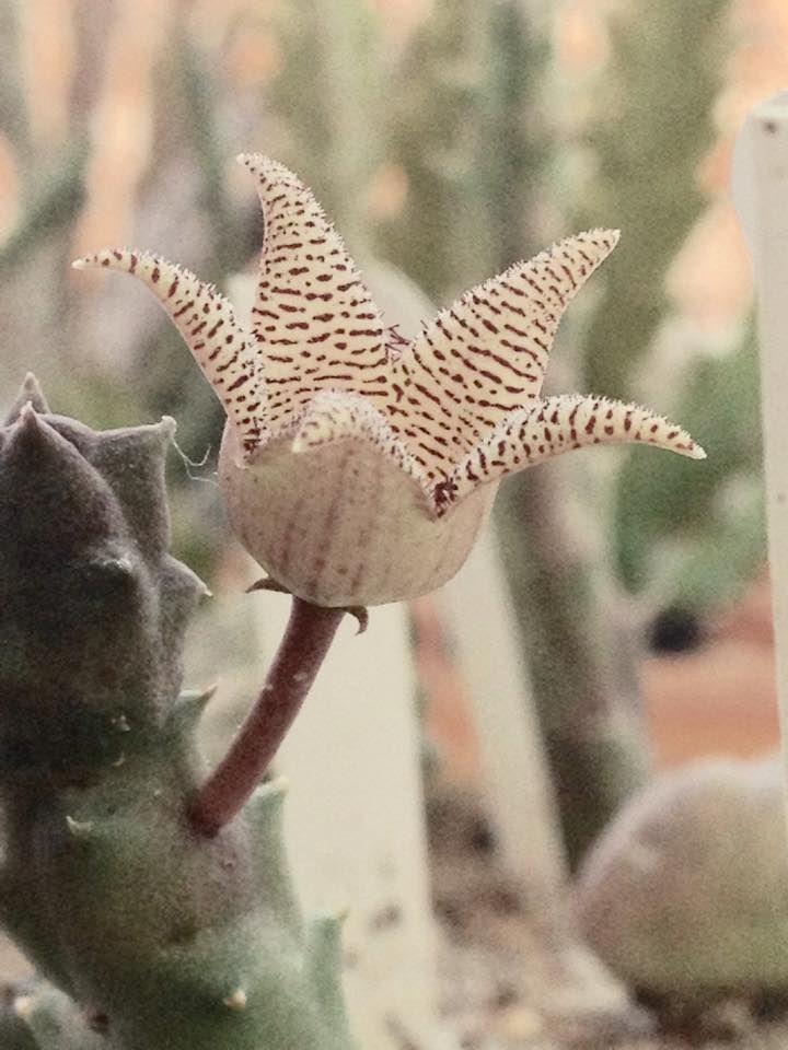 wishlist: Piaranthus punctatus