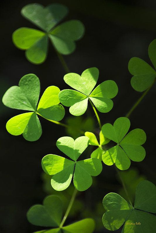 Perfect Green Shamrock Clovers Print by Christina Rollo.  All prints are professionally printed, packaged, and shipped within 3 - 4 business days. Choose from multiple sizes and hundreds of frame and mat options.