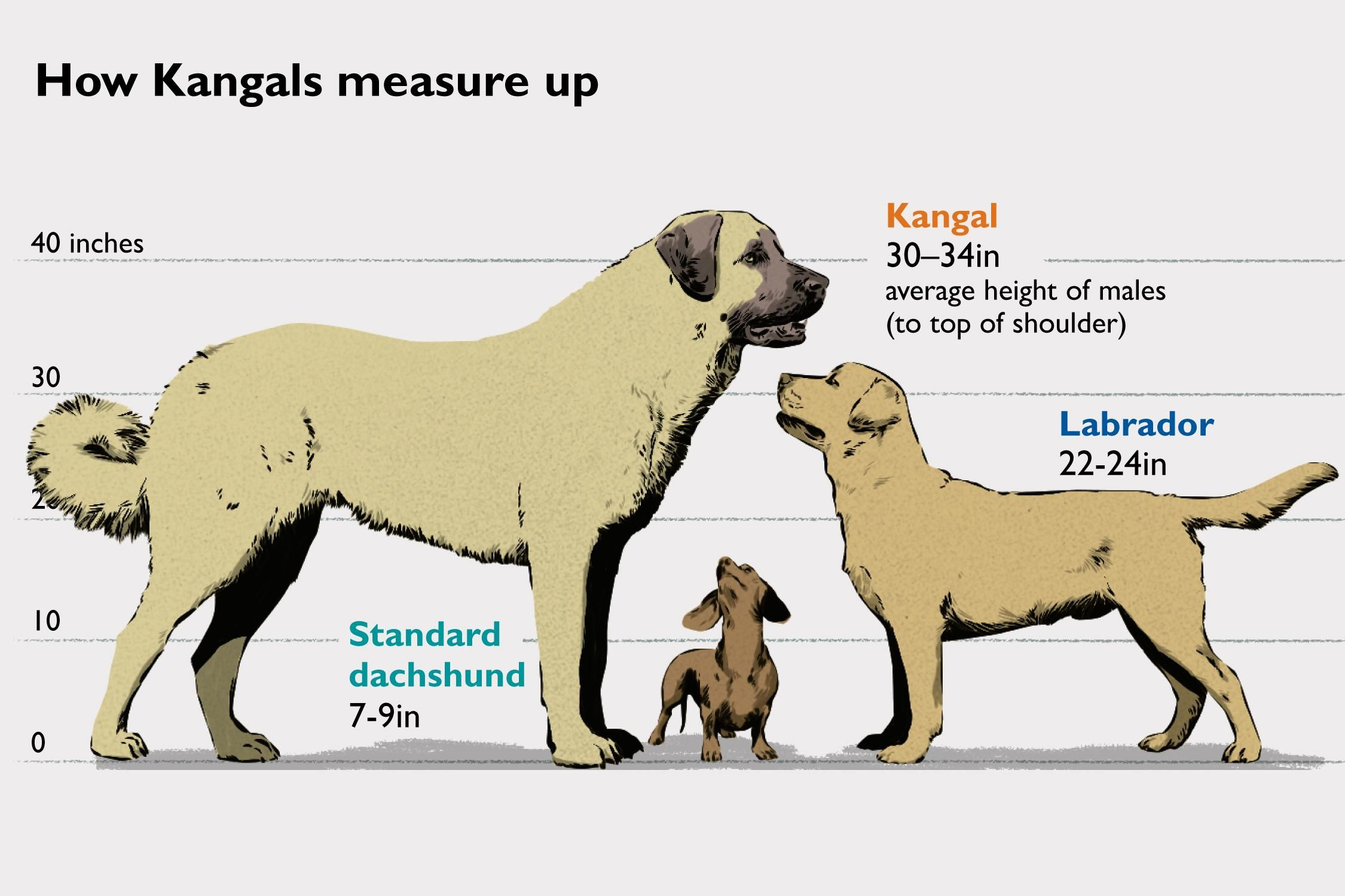 How canine kangals measure up to other dogs or really