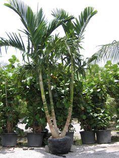 Image result for alexander palm   Florida Landscape ...