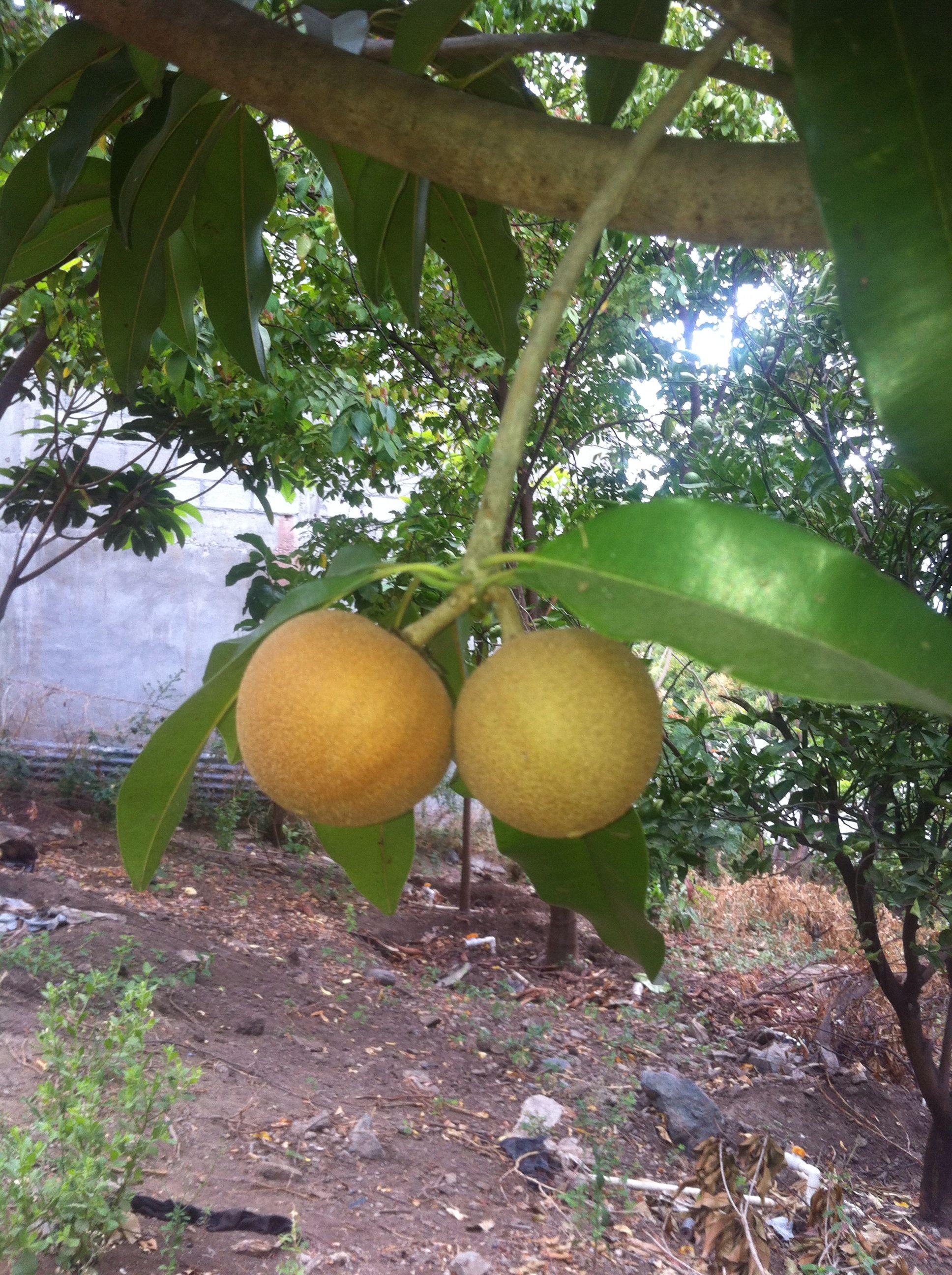 Nisperos O Chicos Frutas De Mi Pais Guatemala Nisperos Paises