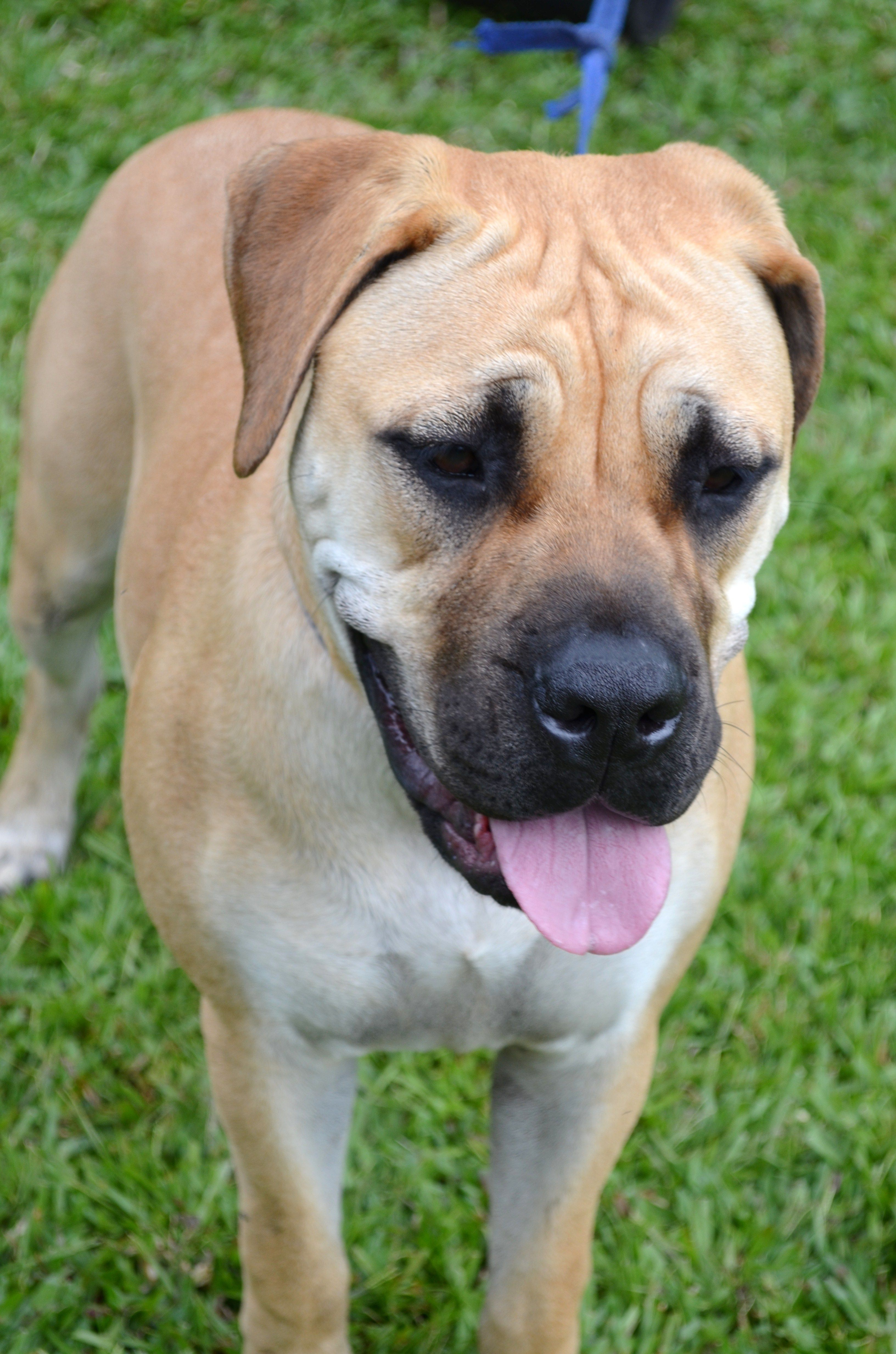 Daisy 9 month old bullmastiff furbabies pinterest daisy 9 month old bullmastiff nvjuhfo Gallery