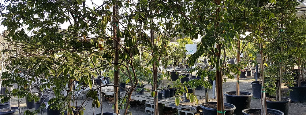 Mimosa Nursery