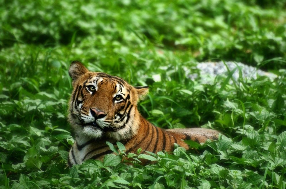 Photogenic Tiger