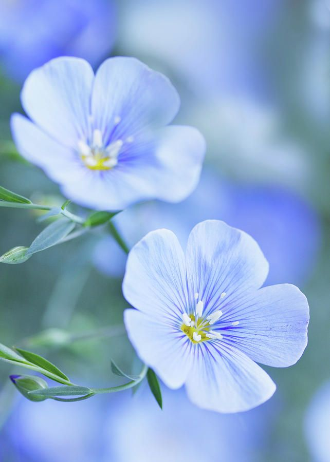 Blue Flax Flowers By Iuliia Malivanchuk In 2020 With Images Flax Flowers Flower Wall Flowers