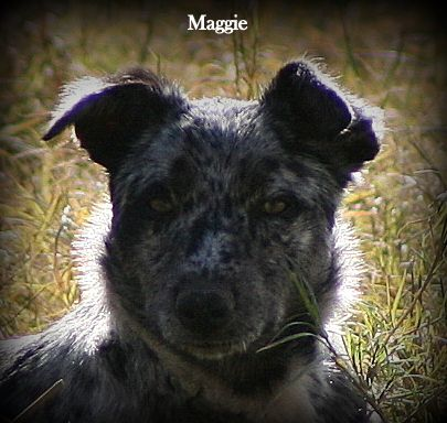 Australian Koolie Australian Dog Breeds Beautiful Dogs