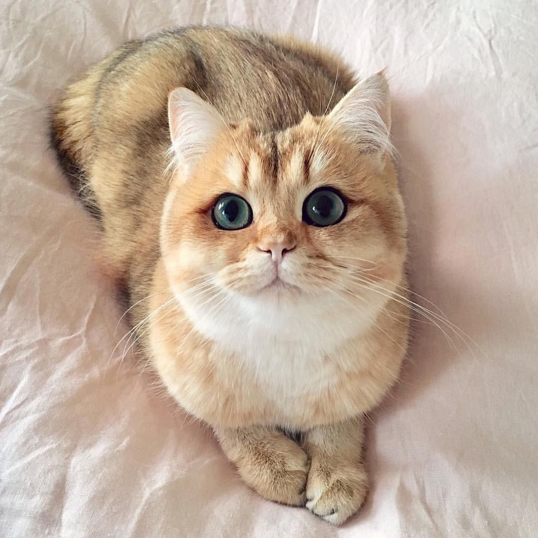 查看 Cats Of World 的這張 Instagram 相片 27 1k 個讚 美しい猫 可愛い猫 チンチラ 猫
