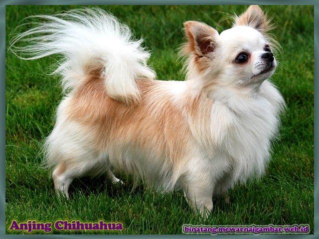 46++ Anjing cihuahua terupdate