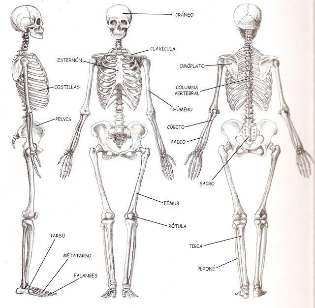 Biologia Humana 2 2 1 Sistema Musculo Esqueletico Esqueleto Humano Arte De Anatomia Humana Cuerpo Humano Dibujo