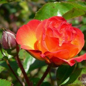 купить розы из теплицы в минске дешево