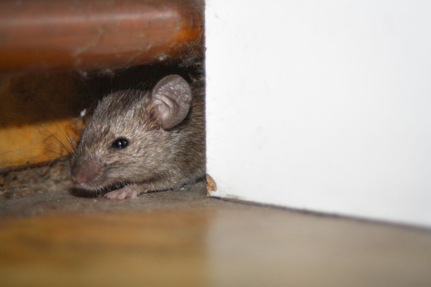 The Importance Of Cleaning Up Rodent Droppings Mouse Hole Rodent Droppings Rodent Infestation