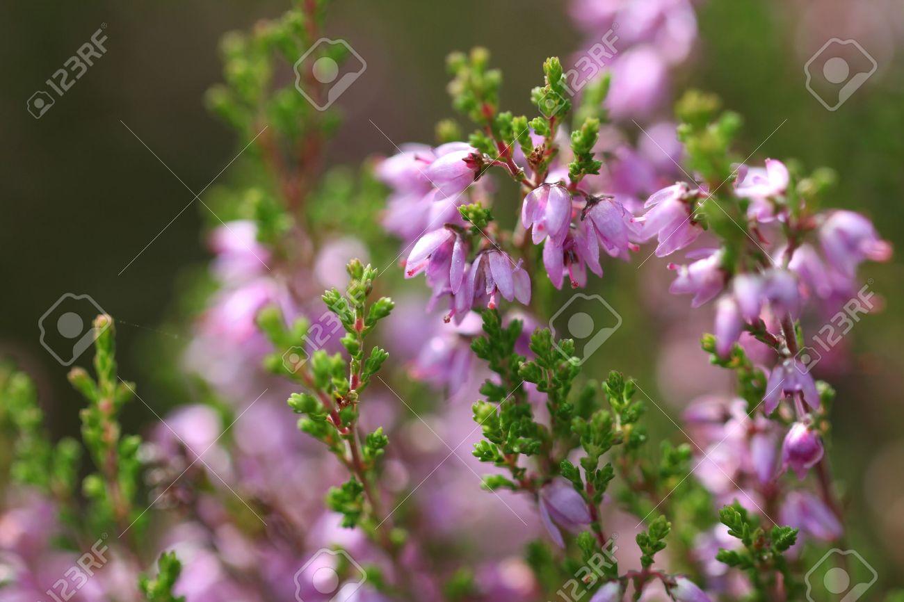 Purple Common Heather Calluna Vulgaris Flowers Close Up Suitable In 2020 Close Up Image Photography Flowers