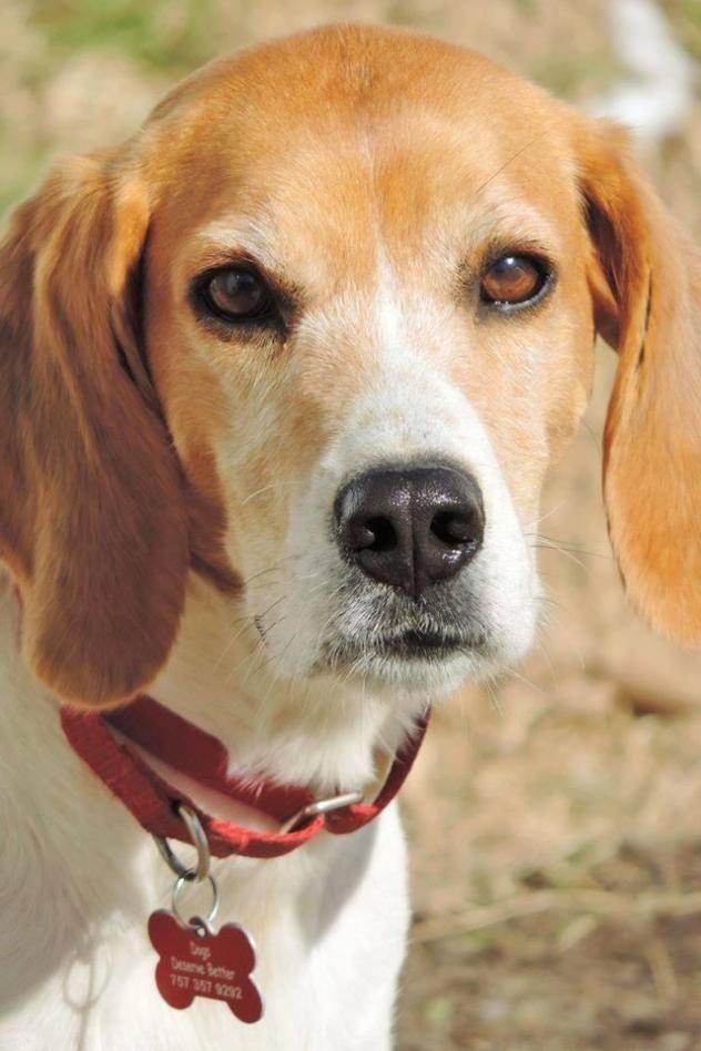 Adopt Shyla On Beagle Pets Animals