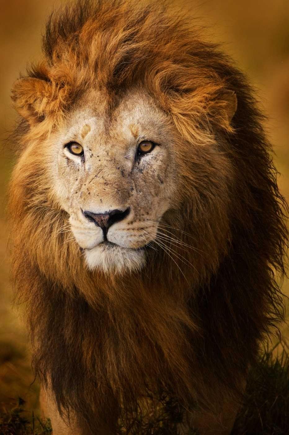 качественное фото львов встречается