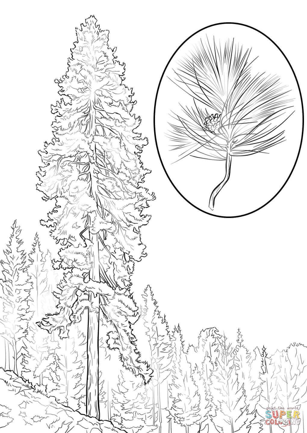 Ponderosa Pine Coloring Page From Pine Trees Category Select From 27522 Printable Crafts Of Cartoon Tree Coloring Page Bird Coloring Pages Flag Coloring Pages