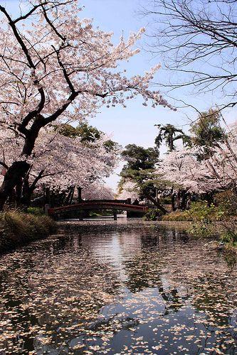 Falling Cherry Blossoms Blossom Cherry Blossom Fall