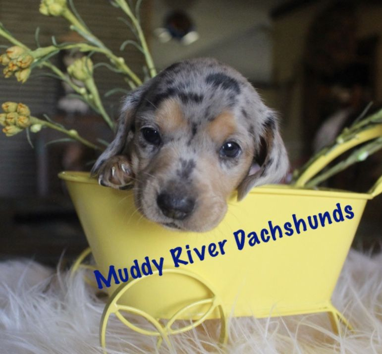 Miniature Dachshunds Puppies Dapples Texas Dachshund Pups At