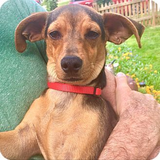 Fairfax, VA - Chihuahua Mix. Meet Ollie, a puppy for adoption. http://www.adoptapet.com/pet/18065062-fairfax-virginia-chihuahua-mix