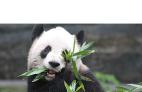 Giant pandas coming to Canada