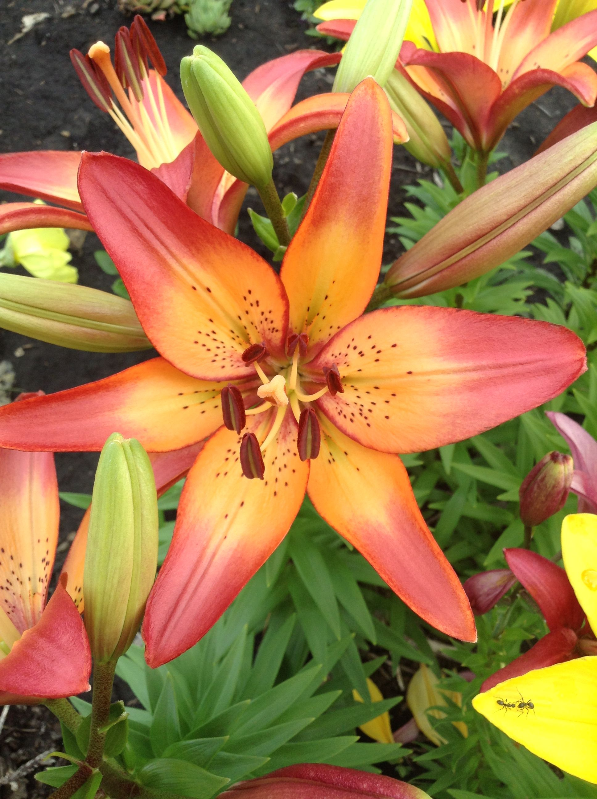 Royal Sunset Lily Flowers Pinterest Flowers And Plants