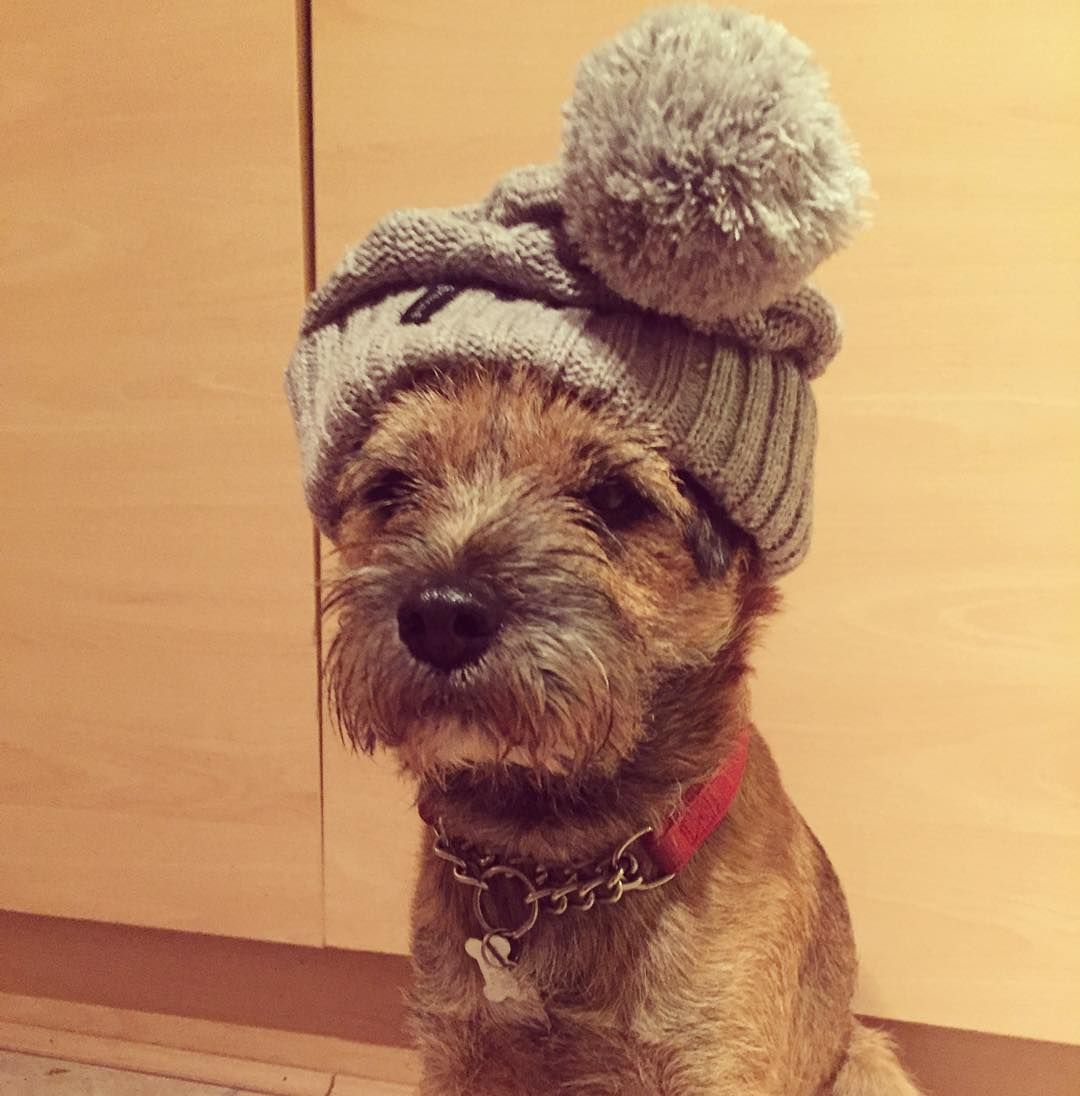 Terriers There S A Smurf In Our Kitchen Happy Border Terrier