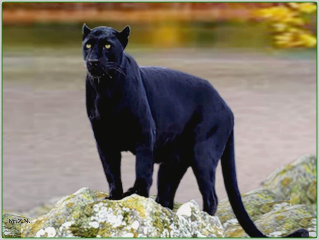 Black Jaguar Wallpapers Hd Download Black Panthers Pinterest