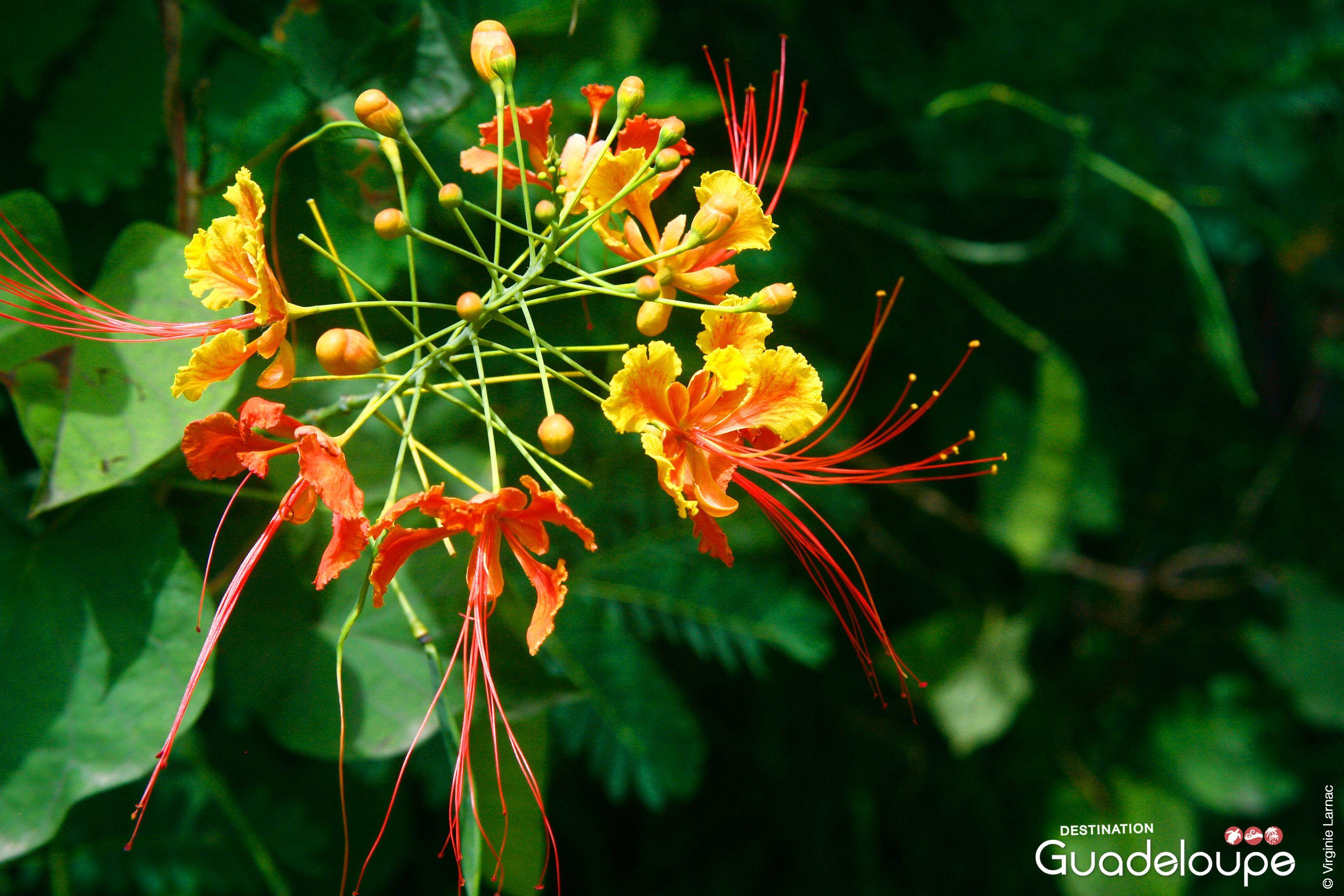 Populaire Mini flamboyants, Pointe-Noire Guadeloupe | fleurs de Guadeloupe  RA13