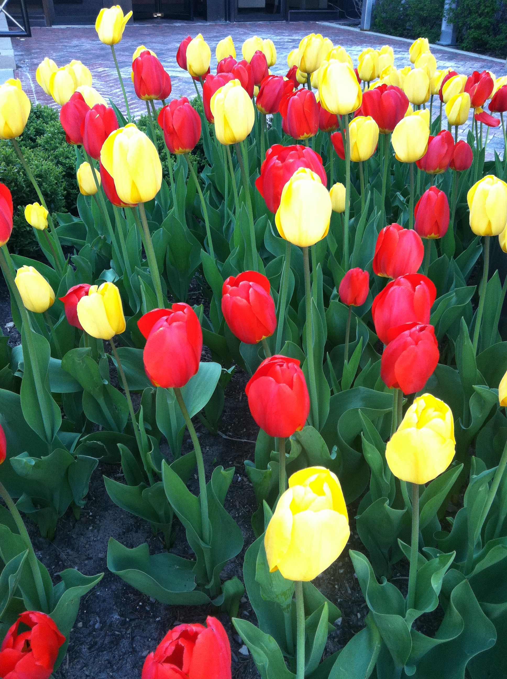 Bright Chicago tulips mean summer is near!