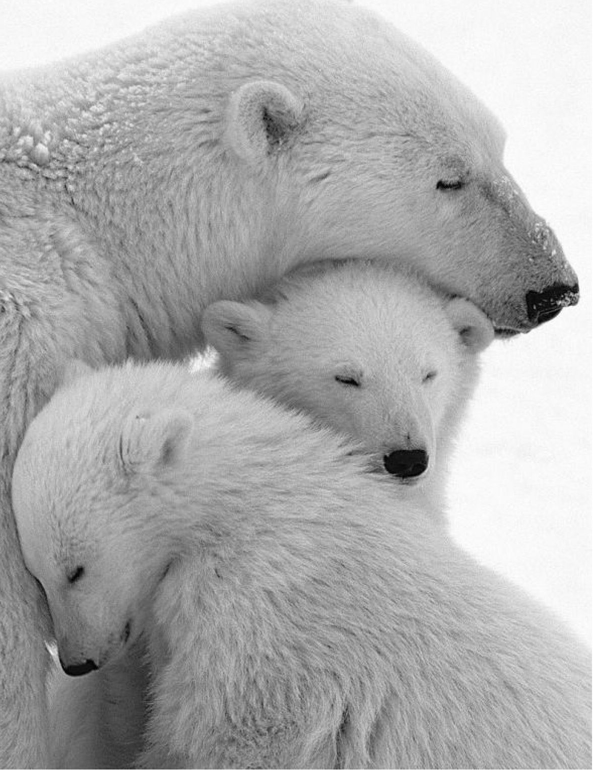 Polar bears, cuddly or what?